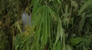 marihuana cannabis enferma