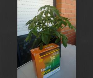 el mejor fertilizante crecimiento sólido marihuana cannabis