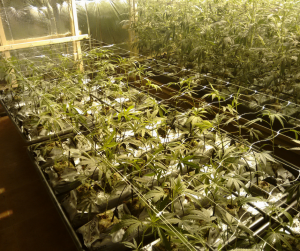 Cannabis marihuana de interior