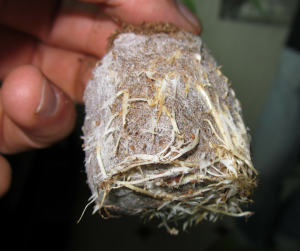 Roots raíces marihuana cannabis Faculty Roots enraizante