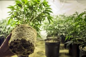 mejor enraizante marihuana cannabis
