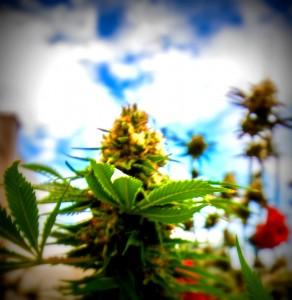 marihuana-cannabis-exterior-primavera-greenfaculty