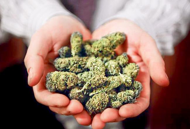 cogollos-de-marihuana-cannabis-greenfaculty-carbohidratos-faculty-carbs-engorde