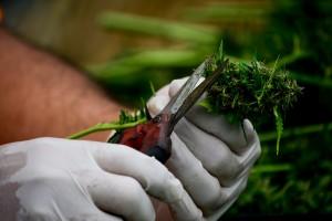 Cosecha-marihuana-cogollos-engorde-greenfaculty-faculty-carbs-cannabis