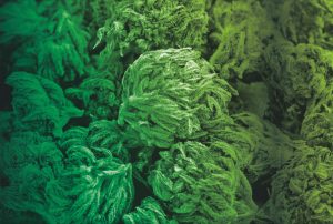 FacultyCarbs-Cogollos-greenfaculty-engorde-cannabis
