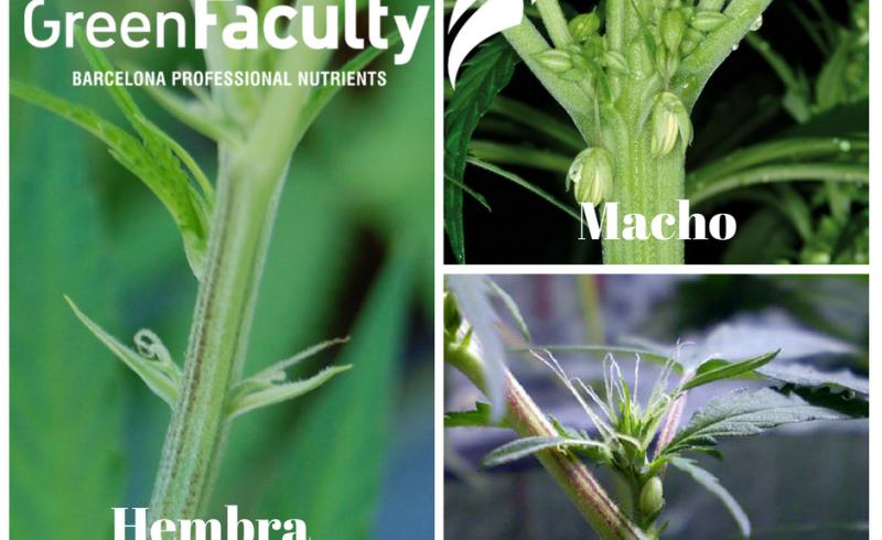 Marihuana, Hembra, Macho y Hermafrodita GreenFaculty